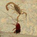 scorpion_eats_roach_jen