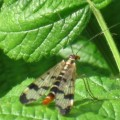 scorpionfly_germany_abigail