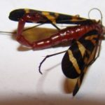 scorpionfly_lone_star
