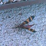scorpionfly_pach