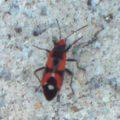 seed_bug_australia_tom