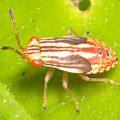 seed_bug_nymph_australia_
