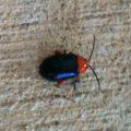 shining_flea_beetle_patricia