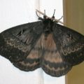 silkmoth_south_africa_windy
