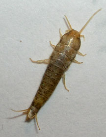 Silverfish - What's That Bug?