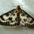 small_magpie_moth_dee