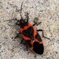 small_milkweed_bug_canada_chris