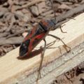 small_milkweed_bug_daniel
