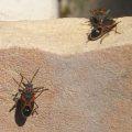 small_milkweed_bugs_karen