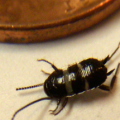 smoky_cockroach_nymph_joe