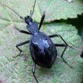 snail_eater_mendocino