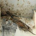snakefly_brodie
