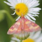 snout_moth_pyrausta