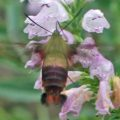 snowberry_clearwing_bpurvis