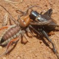solifugid_eats_cricket_south_africa_2