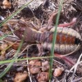 solifugid_south_africa_emer