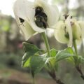 solitary_bees_dogwood_cv