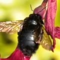 sonoran_carpenter_bee_hawaii_mickey