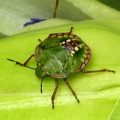 southern_green_stink_bug_nymph_jeff