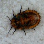 spanish_insect_alix