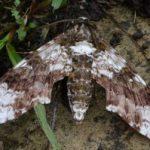 sphinx_moth_trinidad_harald