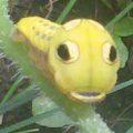spicebush_swallowtail_caterpillar_cu