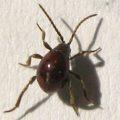 spider_beetle_ben