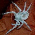 spider_fungus_new_guinea