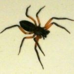 spider_south_africa_annest