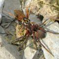 spider_wasp_prey_ecuador