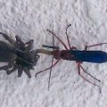 spider_wasp_prey_jon