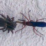 spider_wasp_prey_jon
