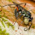 spider_wasp_singapore