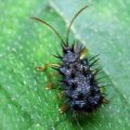 spiked_beetle_indonesia_mohamad