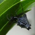 spined_micrathena_jennifer
