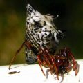 spined_micrathena_ohio
