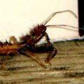 spiny_assassin_bug_chang