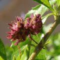 spiny_flower_mantis_south_africa_ryan