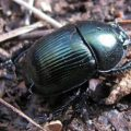Splendid Earth Boring Beetle
