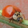 spotless_multicolored_lady_beetle_deborah