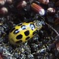 spotted_cucumber_beetle_jennifer