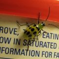 spotted_cucumber_beetle_robbie