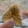 spotted_tussock_moth