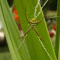 st_andrews_cross_spider_australia_emma