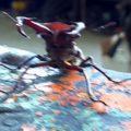 stag_beetle_kristina