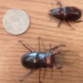 stag_beetle_pair_mark