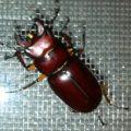 stag_beetle_pam