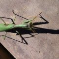 stagmomantis_californica_pk