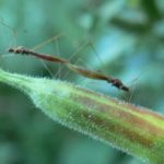 stilt_bugs_mating
