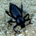 stink_beetle_los_angeles
